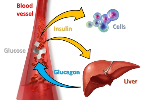 Insulin-Glucagon cycle