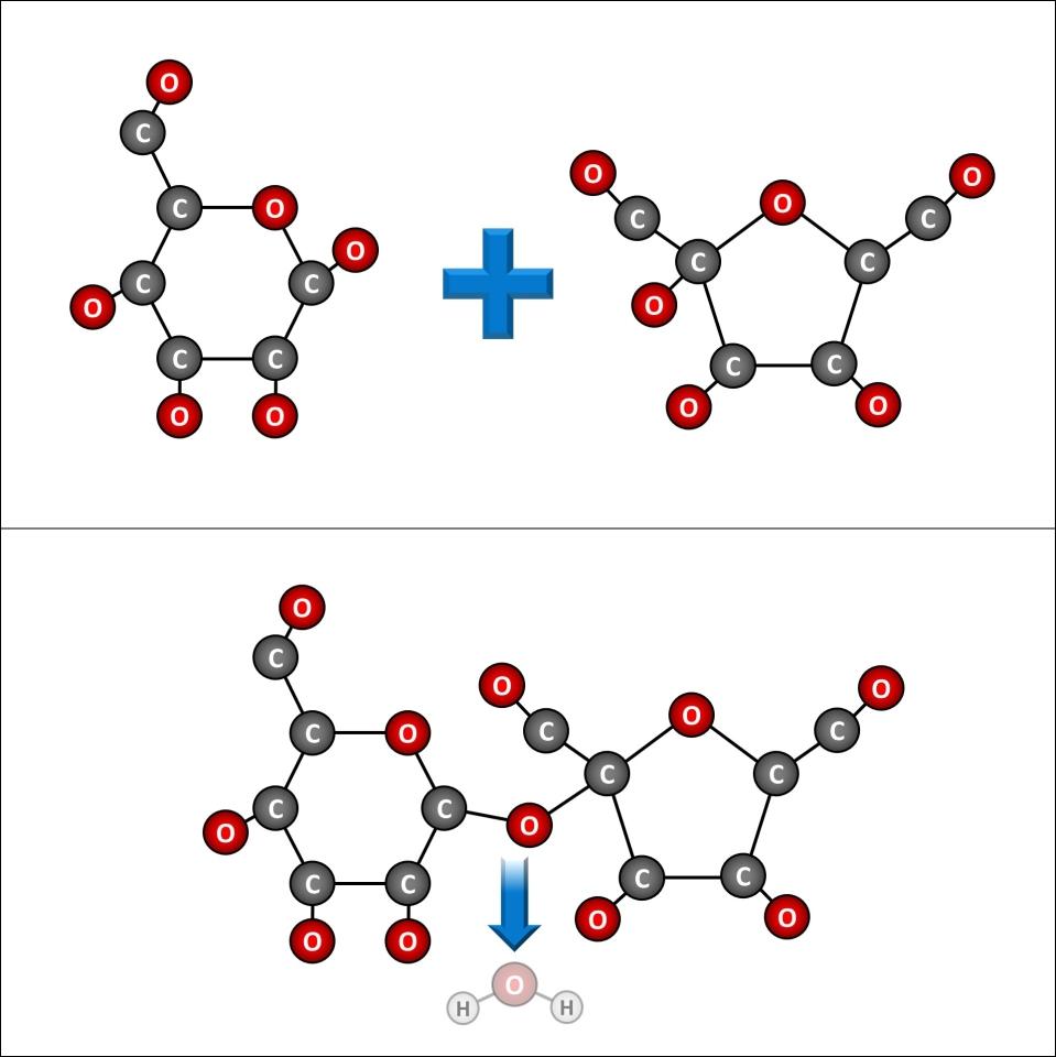 Sucrose molecule